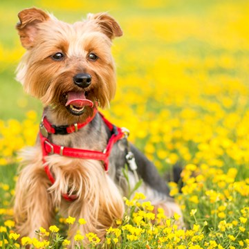 Yorkshire terrier in buttercups