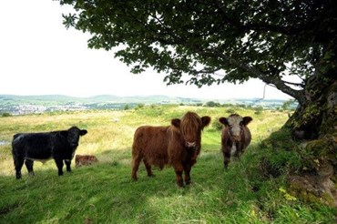 Cows at the antonine wall